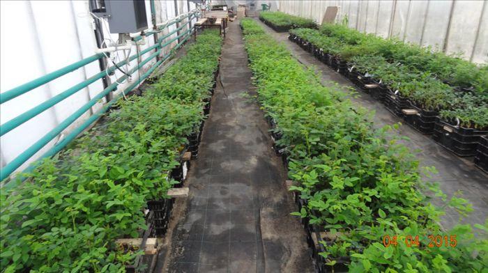 Выращивание дихондры дома 7